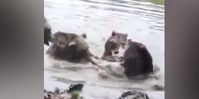 Ayılar, yakaladıkları kurdu paramparça etti