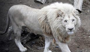 'Beyaz aslan açık artırmayla satılacak' iddiası