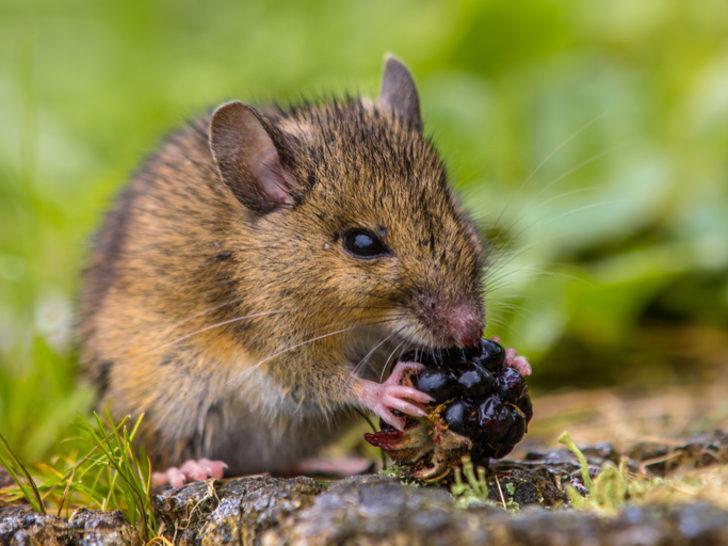 Rüyada fare görmek ne demek? Rüyada fare görmek ne anlama gelir?