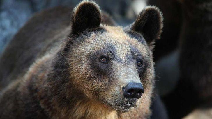 Doğu Karadeniz'de büyük tehlike: İnsan yiyen ayılar geliyor!