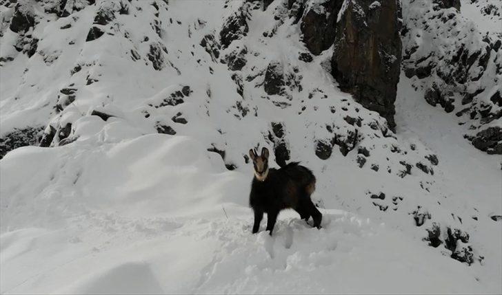 Çengel boynuzlu dağ keçisi böyle görüntülendi