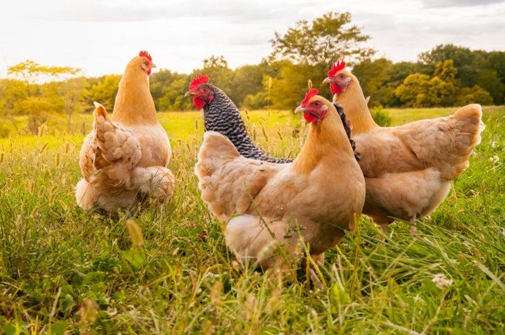 Rüyada tavuk görmek ne demek? Tavuk ile ilgili rüya tabirleri
