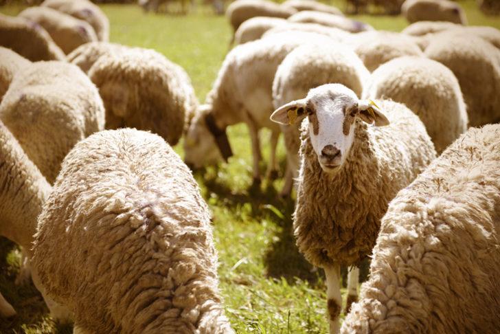 Rüyada koyun görmek ne demektir? İşte koyun görmek ile ilgili rüyaların tabirleri