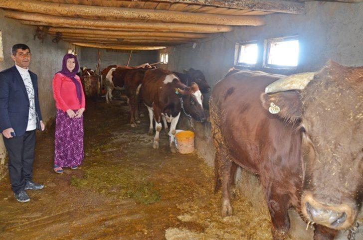 'Genç çiftçi' projesiyle büyükbaş hibe edilen Feride, kadınlara örnek olmak istiyor