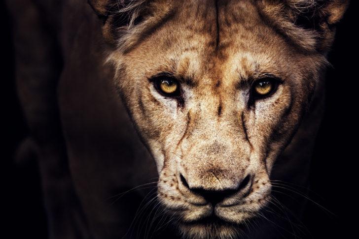 Rüyada aslan görmek ne demek? Rüyada aslan görmek ile ilgili rüya tabirleri
