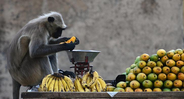 Nesli tükenmekte olan maymunu öldürüp yediler