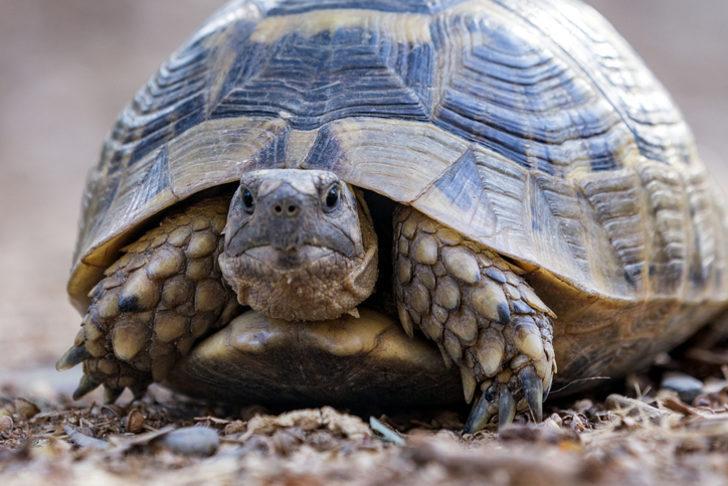 Rüyada kaplumbağa görmek ne demek? Rüyada kaplumbağa görmek ile ilgili rüya tabirleri!