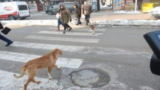 Bu köpekler yaya geçidi kullanıyor