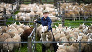 Brexit - İngiliz Hayvancılar Birliği'nden uyarı: Yüz binlerce kuzuyu öldürmek zorunda kalabiliriz