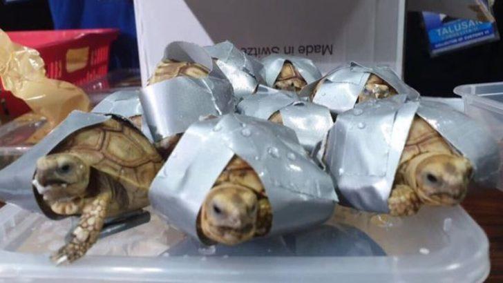 Koli bandına sarılı halde 1500 kaplumbağa bulundu