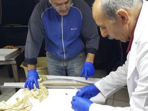 Türkiye'de ilk kez yılan balığından yapay yolla yavru alındı