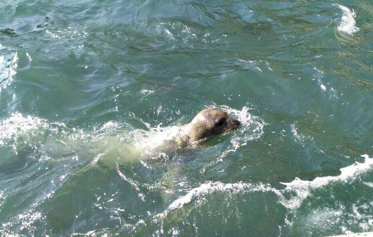 Kuşadası'nda 15 ay aradan sonra Akdeniz foku görüldü