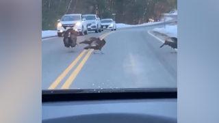 Sürü için trafiği durdurdu