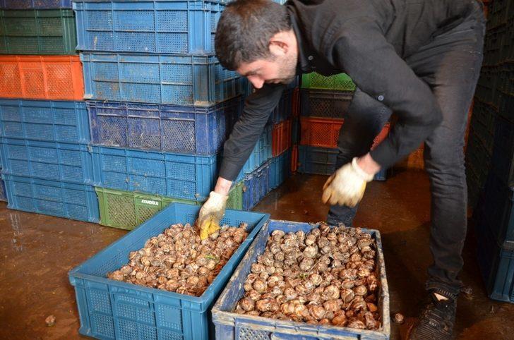 Sezon açıldı günde 5 ton topluyorlar ile ilgili görsel sonucu