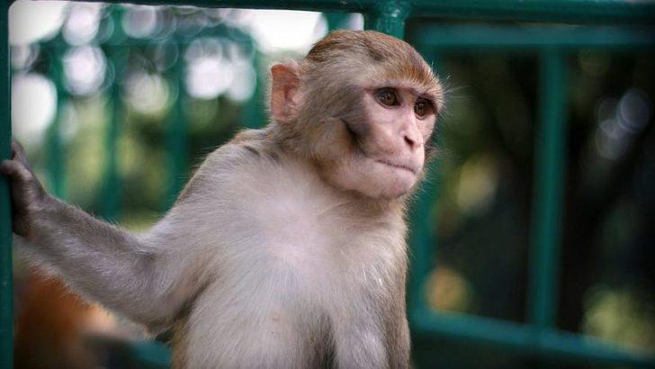 Bilim insanları maymunlara insan beyninden gen aktardı
