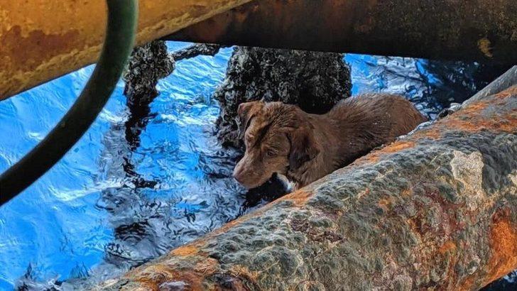 Bir köpek kıyıdan 220 km açıkta bulundu! Oraya nasıl geldi?