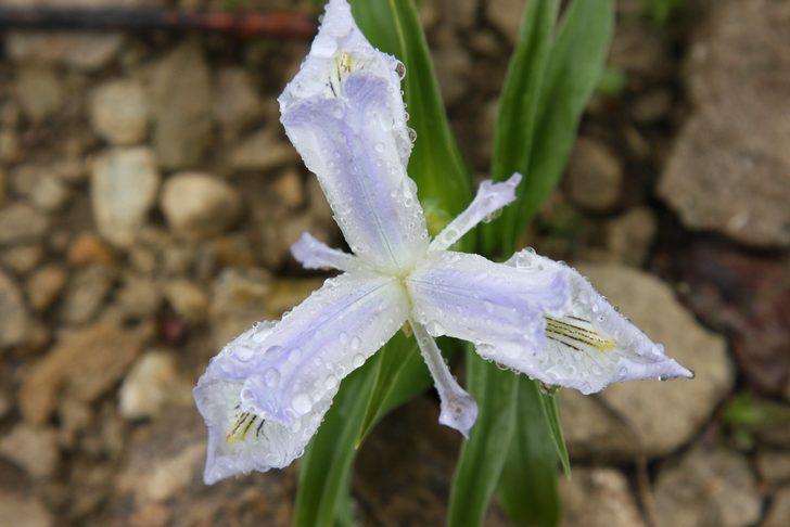 Ergani'de 'Makam' çiçeği açtı