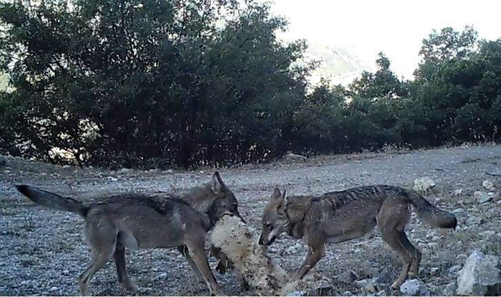 Erzincan'da ur kekliğinin varlığı fotokapanla kanıtlandı