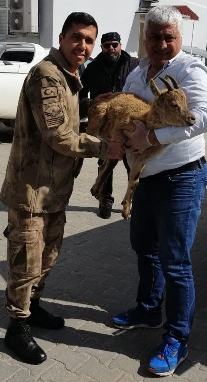 Jandarma, terör operasyonu sırasında bulduğu yaralı dağ keçisini kurtardı