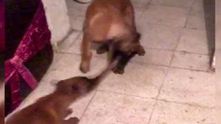 İki köpeğin oyuncak kavgası