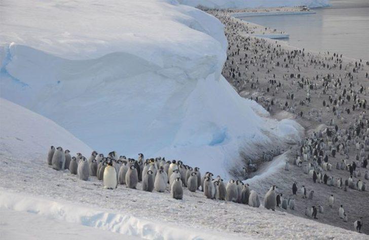 Buz tabakası parçalandı, binlerce yavru penguen boğuldu