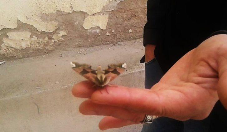 Tekirdağ'da görülen kelebek hayrete düşürdü