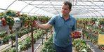 Sinop'ta topraksız çilek üretimi başladı