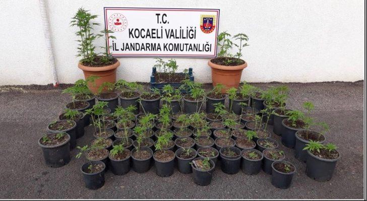 Fındık bahçesinde saksıya ekilmiş 376 kök Hint keneviri ele geçirildi