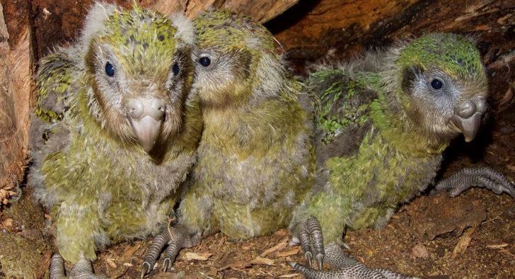 Soyu tükenmekte olan yavru kakapo ameliyata alındı!