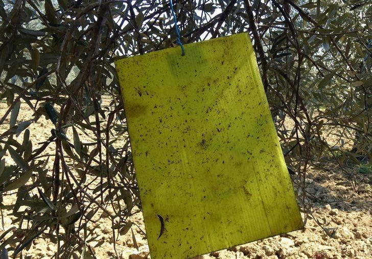 Sayıları artıyor! Edremit Körfezi'nde üreticide 'zeytin sineği' endişesi