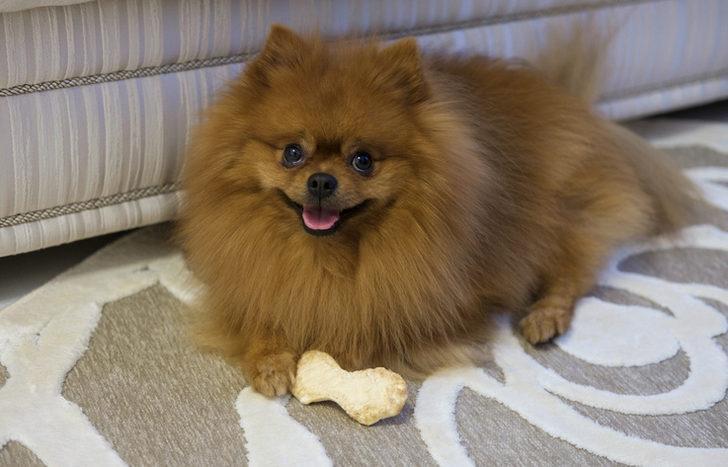 Boo >> Pomeranian Boo Ozellikleri Bakimi Ve Fiyati Mynet Trend
