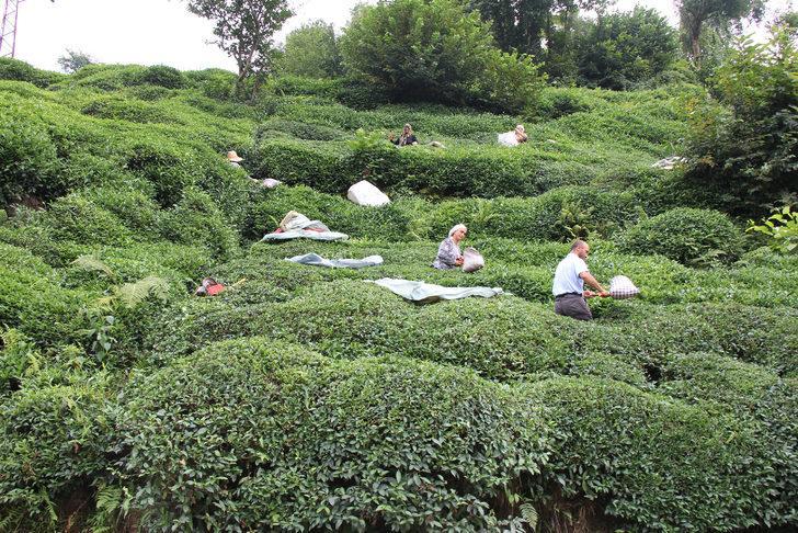 Çay alım fiyatı üreticiyi sevindirdi