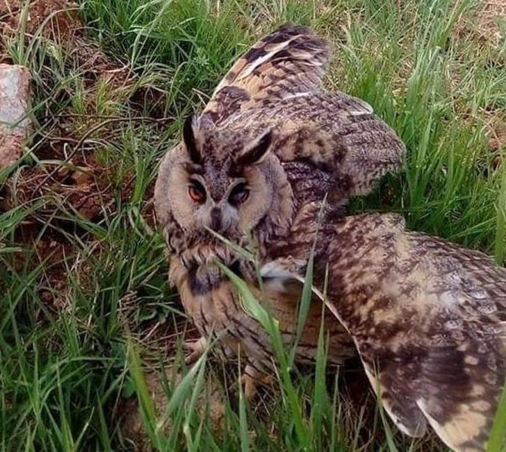 Mersin'de boynuzlu baykuş bulundu! Nesli tükenme tehlikesi altında