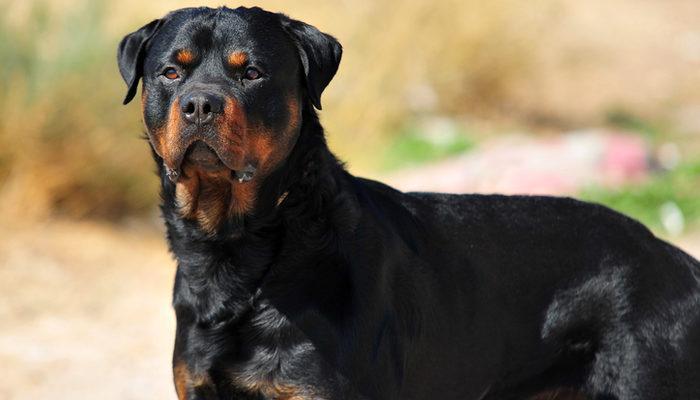 Rottweiler özellikleri nelerdir? Rottweiler yavrusu fiyatı nedir, bakımı nasıl yapılır?