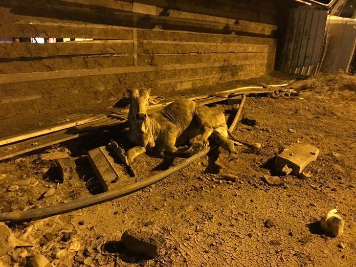 Nusaybin'de büyükbaş yüklü TIR devrildi: 1 yaralı