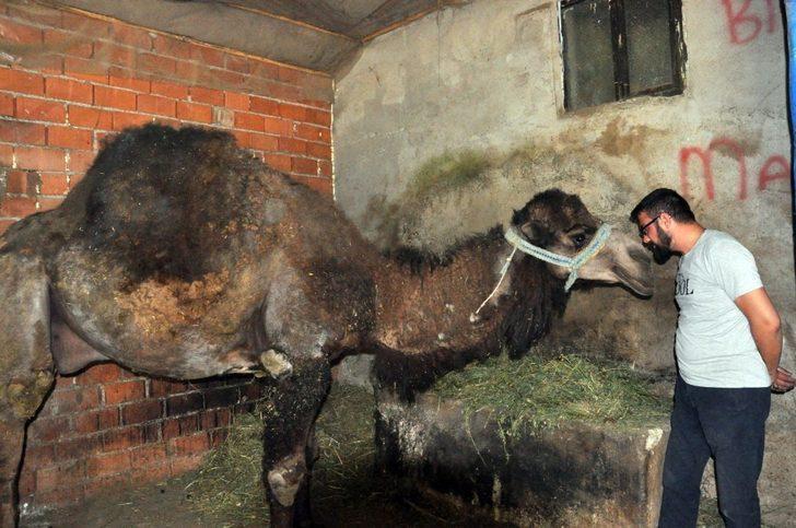 Güreşlerden çıkan develere özel cilt bakımı ve beslenme programı