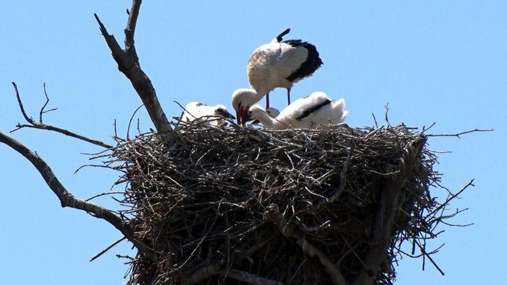 'Leylek Köyü'nün yeni misafirleri uçuşa hazırlanıyor
