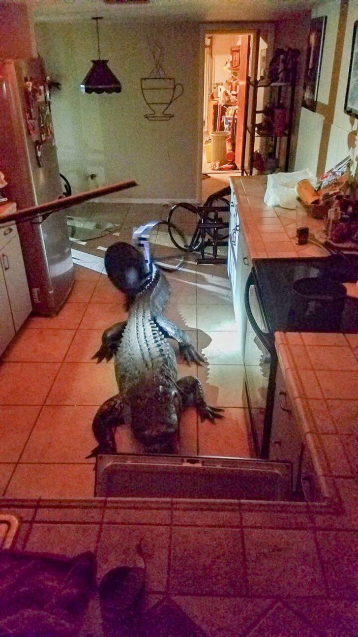 Mutfağa gittiğinde bu timsahla karşılaştı