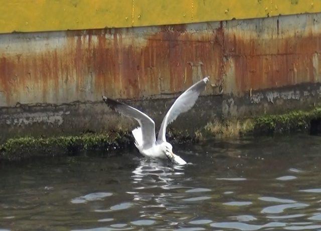 Martıların balıkla mücadelesi