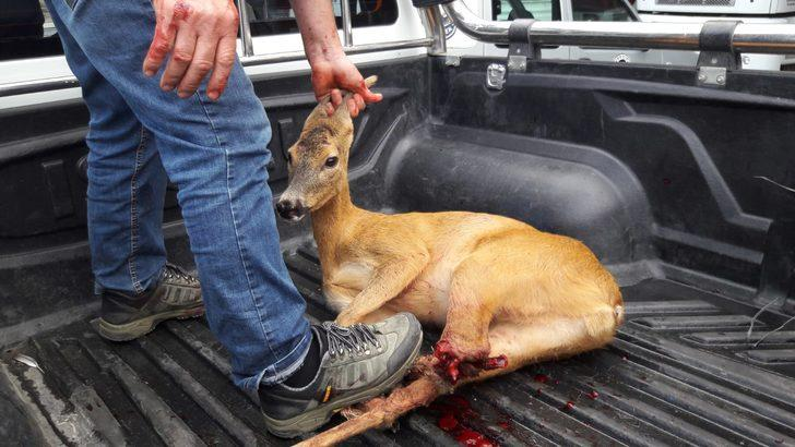 Köpeklerden kaçarken yaralanan karaca tedaviye alındı