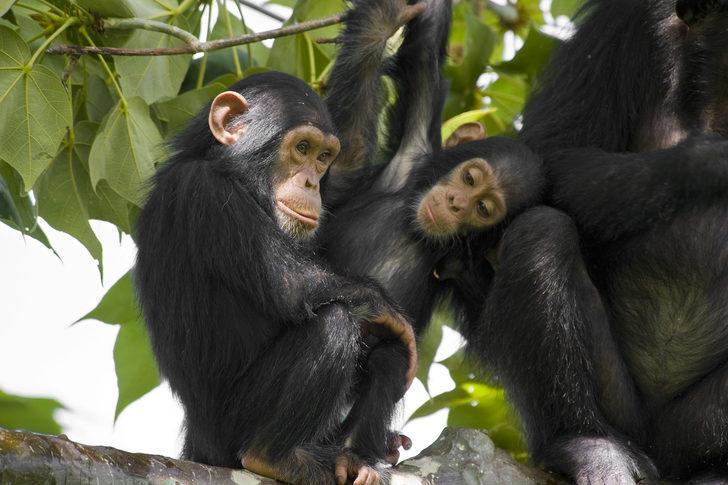 Zenginlerin yeni düşkünlüğü: Şempanze eti