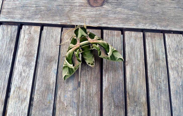 Bodrum'da nadir rastlanan mekik kelebeği görüldü
