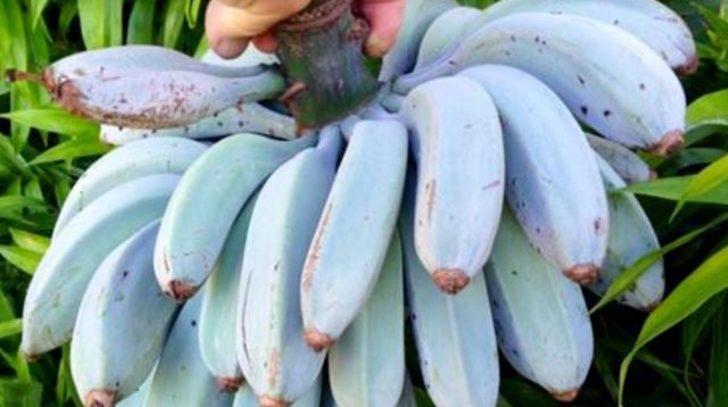 Bu mavi java muzun tadı vanilyalı dondurma gibi!