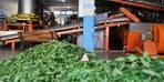 Lisenin çay fabrikasında öğrenciler üretirken öğreniyor