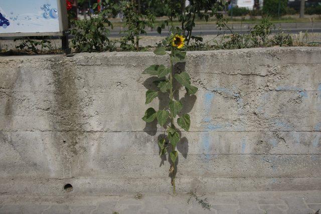 Kaldırımda yetişen ayçiçeği görenleri şaşırtıyor