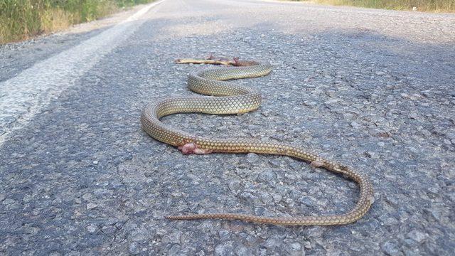 Karayolunda araç altında kalan yılan ezildi