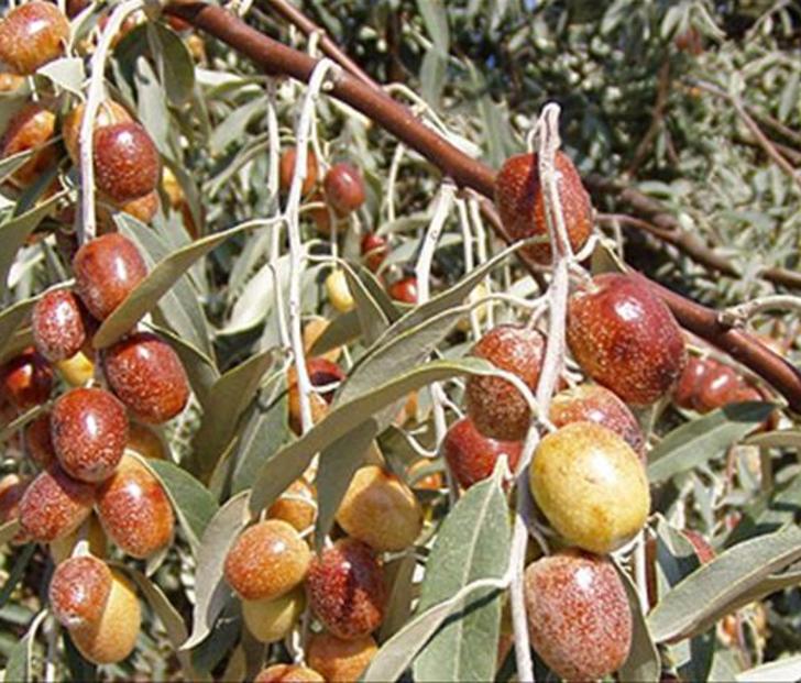 Ölümsüzlük bitkisi Türkiye'de bulundu