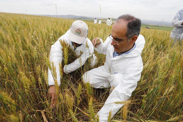 Buğdayda verimi düşüren 'süne böceği'ne karşı seferberlik