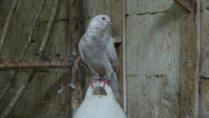 Güvercin almak için istenen şartlar iş başvurusunda bile istenmiyor