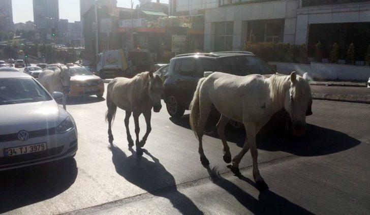 (Özel) Trafikte başıboş atlar sürücüleri şaşkına çevirdi